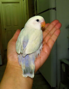 SUPER TAME handfed baby lovebird (whitefaced)
