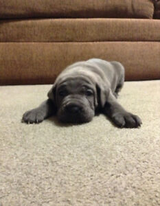Only one beautiful blue female Cane Corso left