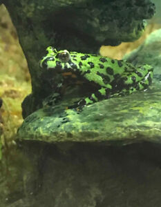 Firebelly toads for rehome