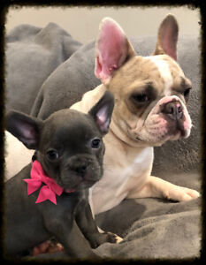 Real French bulldog pups BC Born and raised, we are not brokers