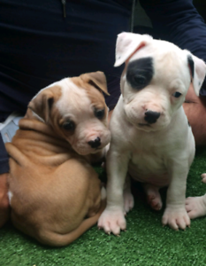 American Staffordshire Terrier puppies   Amstaff   Dogs