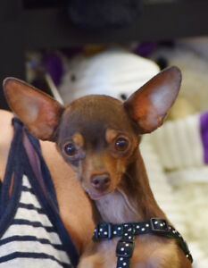 **Little Penny - CHIHUAHUA cross is available for adoption***