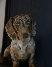 Stunning dapple dachshund
