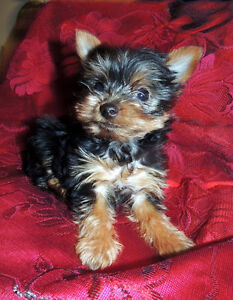 ONLY ONE  Lil GIRL YORKIE !!!!!!!!!