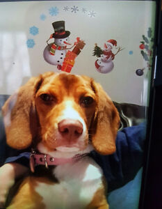 Beagle 7 months old female