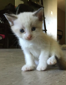 Beautiful blue eyed snowshoe kittens need forever homes Peterborough Peterborough Area image 2