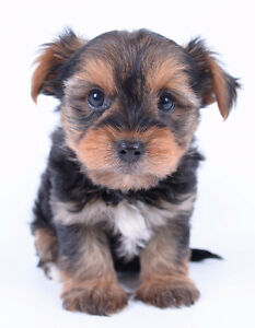 *** TINY TOY MORKIE PUPPIES *** 3 MALES & 1 FEMALE * READY TO GO