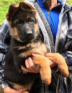German Shepherd Puppies Import Ready Now
