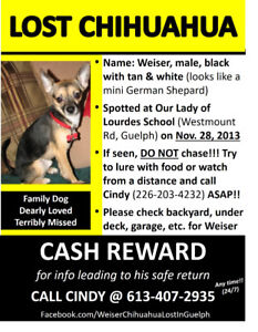 LOST CHIHUAHUA - MISSED VERY MUCH BY FAMILY