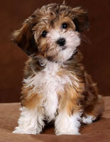 Looking for Havanese puppy for sale