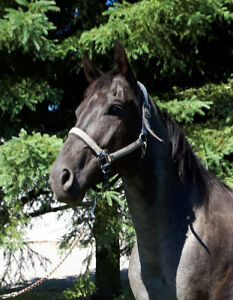 Reg'd AQHA Quarter Horse Mare 7 Y.O. Show and Ranch Quality