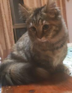 Female munchkin kitten