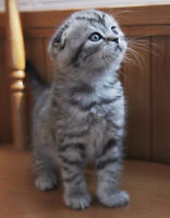 Looking for buying  silver tabby scottish fold kitten