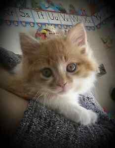 Orange long haired cat