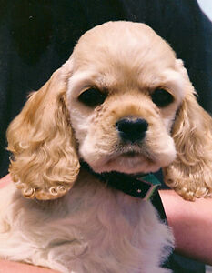Wanted- American Cocker Spaniel Puppy