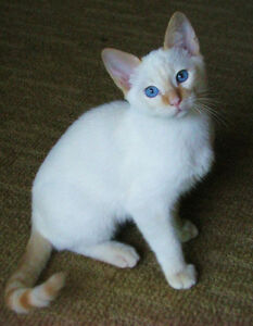 Beautiful and rare blue eyed Flame Point Siamese kittens!