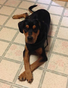 Fostered Rotti mix looking for his forever home
