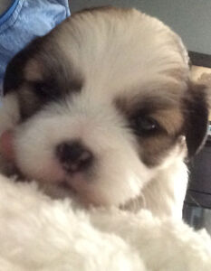~Beautiful Malshi Puppies~ Only 1 girl left!!!