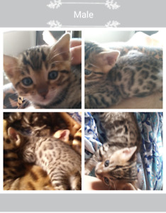 Beautiful tica bengal kittens