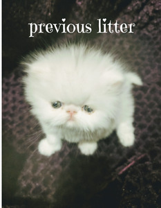 Purebred Persian kittens due in one week!!!!