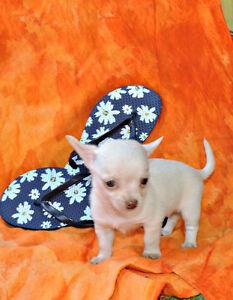 VENDU Chihuahua ❤ femelle blanche red nose ❤VENDU