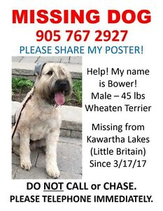 MISSING SOFT COATED WHEATEN TERRIER