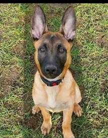 Belgian Malinois male pup