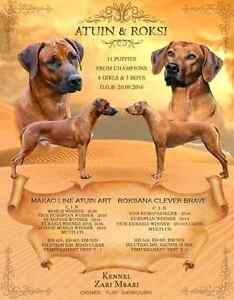 FCI and BCO Registered Rhodesian Ridgebacks