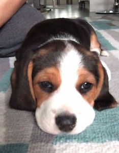 Beagle puppy 5 months old, female