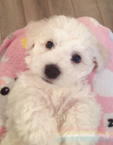 Bichon Frise puppies looking for new homes by Christmas