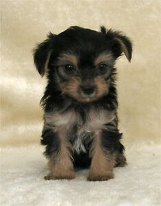 Yorkie/Silky Puppies