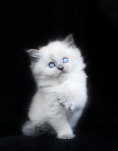 Fluffy Lilac Point Ragdoll kittens for their new homes