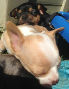 2 PUREBRED FEMALE CHIHUAHUA PUPPIES FOR SALE