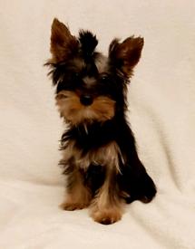 Yorkshire Terrier puppies- one girl left