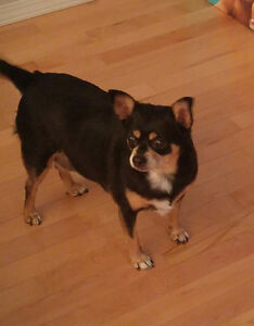 8 year old Chihuahua cross needing good home