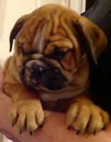 CHIOT ENGLISH BULLDOG ENREGISTRÉ CKC BOULEDOGUE ANGLAIS CCC