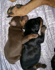6 PUREBRED DOBERMAN PUPPIES DOGS LOOKING FOR FOREVER LOVING HOME