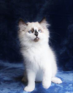 MALE  RAGDOLL KITTEN IS AVAILABLE FOR ADOPTION