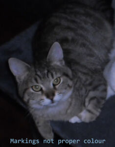"Lost Young Male Beige and Black Tabby Name is ""Munchkin"""