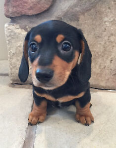 Mini-Dachshund Puppy - 1 AVAILABLE!
