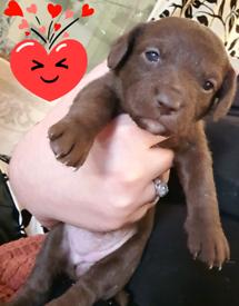 BEAUTIFUL CHOCOLATE JACKAPOO PUPPIES Poodle cross jack russell