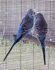 2 Budgies For Sale!!