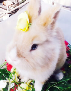 Beautful Male Rabbit for rehoming