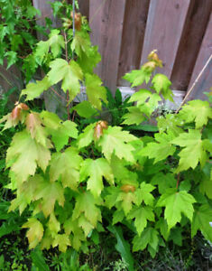Red Maple tree FOR SALE IN BRAMPTON .