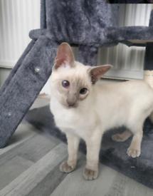 Siamese cat for sale