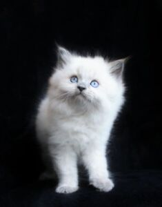 LILACPOINTRAGDOLL   KITTENS FOR ADOPTION