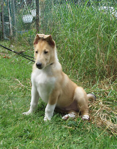 Collie puppy available - rare blue eyed smooth Collie pup