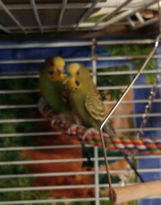 3 bugsies and cage for sale