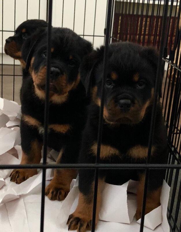 Rottweiler Puppies Dogs Puppies For Rehoming Mississauga