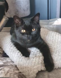*URGENT* 6 month old Kitten